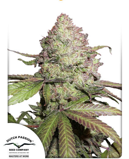 CBD-auto-charlottes-angel-win-cannabis-seeds-dutch-passion-x