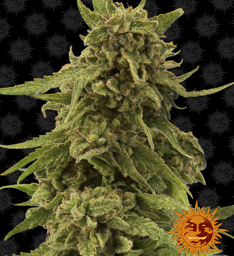 cbd-critical-cure_circle_new_12_976893