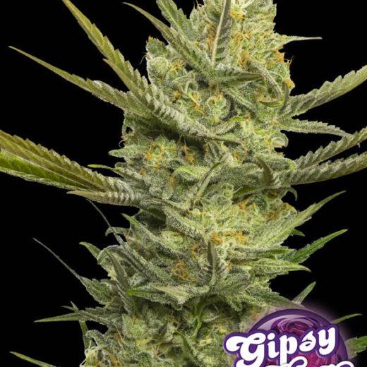 gipsy-haze