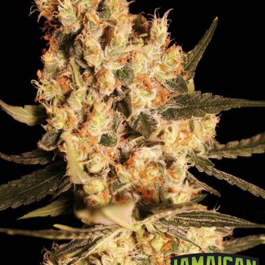 jamaican-dream